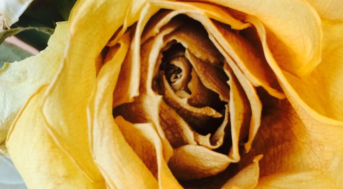 Yellow Rose C