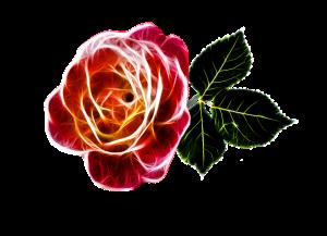 rose-243630_960_720